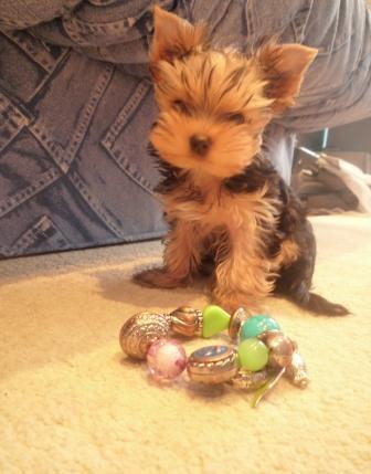 Невероятно игривые и обонятельные маленькие собачки