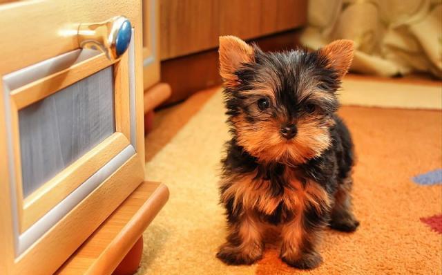 Маленькие собачки – характеристики породы йоркширских терьеров
