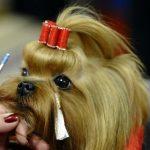 Йоркширский терьер: подготовка собаки к выставке