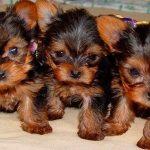 Купить щенка йоркширского терьера — первые дни песика в доме