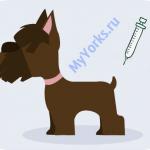 Когда делать прививки Йорку