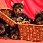 Сколько стоит йоркширский терьер или породистый щенок для всей семьи